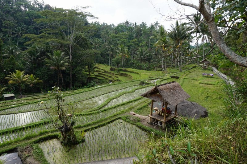 bali-indonesia-rice-field