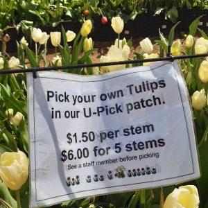 TulipFestival (11)