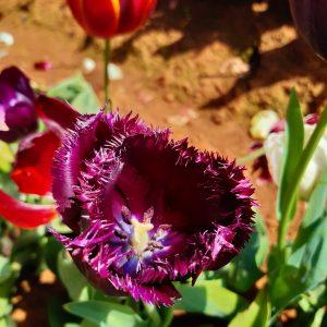 TulipFestival (9)