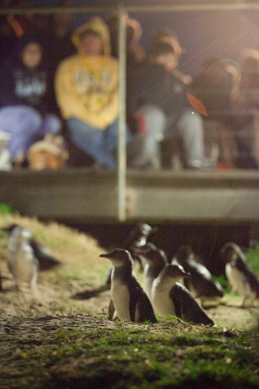 penguin parade viewing