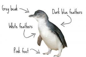 little-penguin