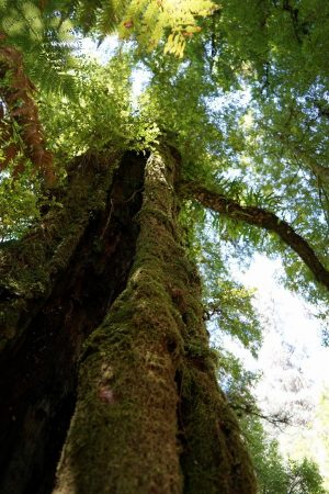 Don't forget to look up and admire the stunning giants of Tarra-Bulga National Park